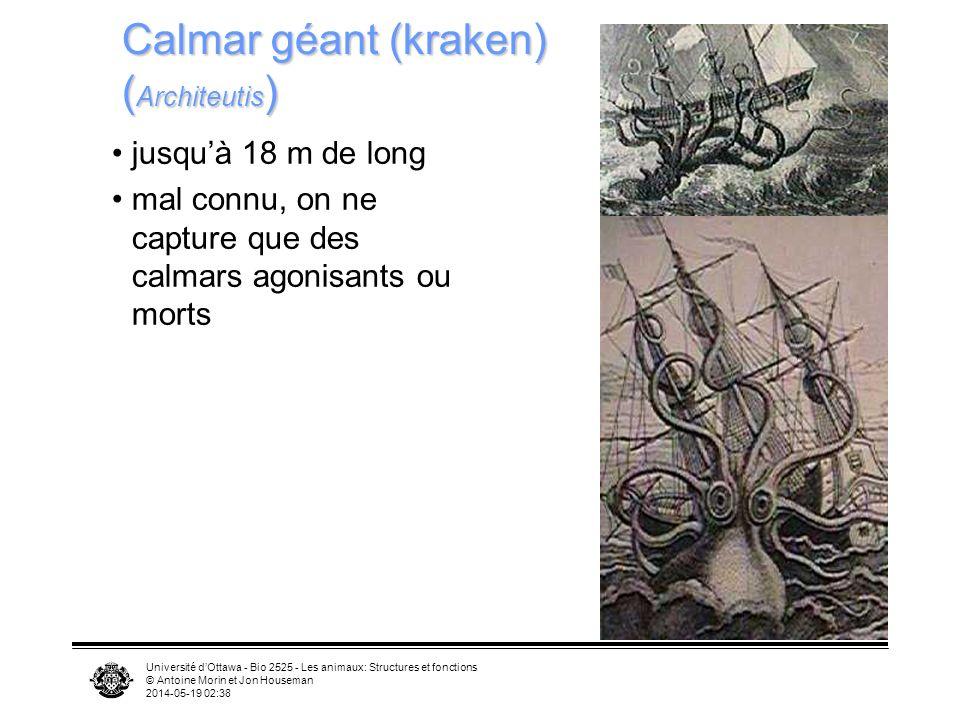 Calmar géant (kraken) (Architeutis)