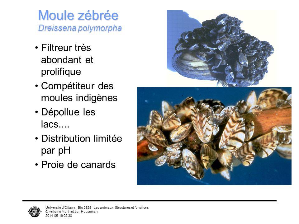 Moule zébrée Dreissena polymorpha