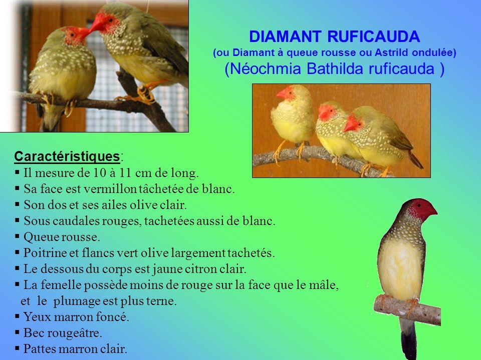 (Néochmia Bathilda ruficauda )