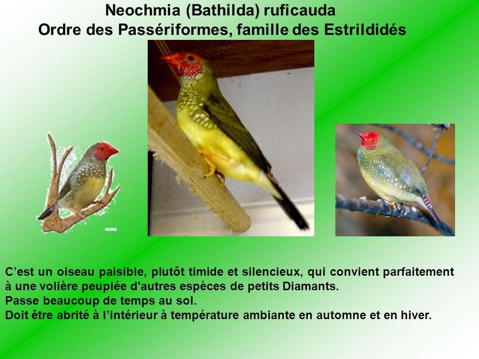 Neochmia (Bathilda) ruficauda