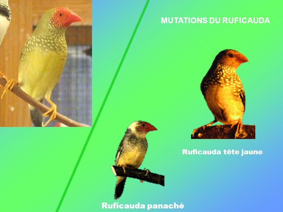 MUTATIONS DU RUFICAUDA