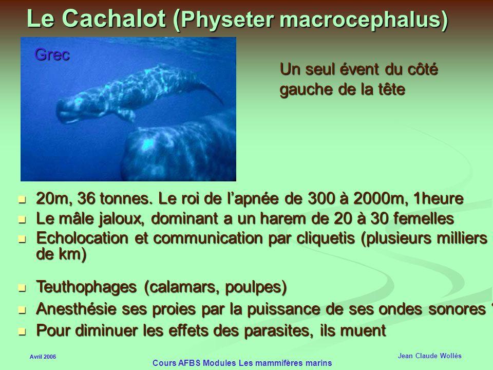 Le Cachalot (Physeter macrocephalus)