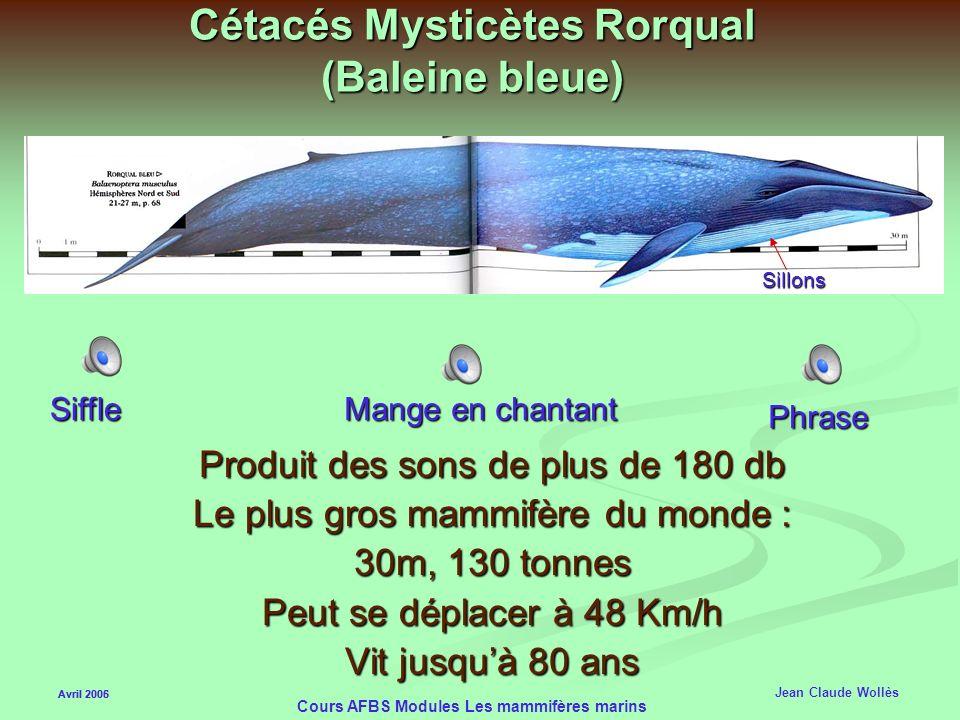 Cétacés Mysticètes Rorqual (Baleine bleue)