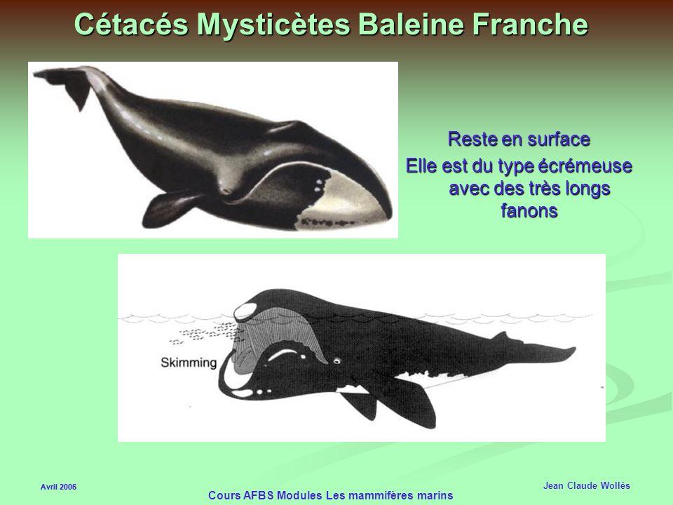 Cétacés Mysticètes Baleine Franche