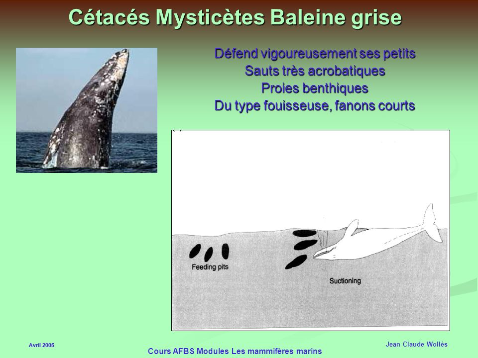 Cétacés Mysticètes Baleine grise
