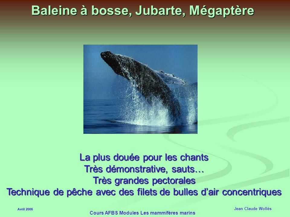 Baleine à bosse, Jubarte, Mégaptère