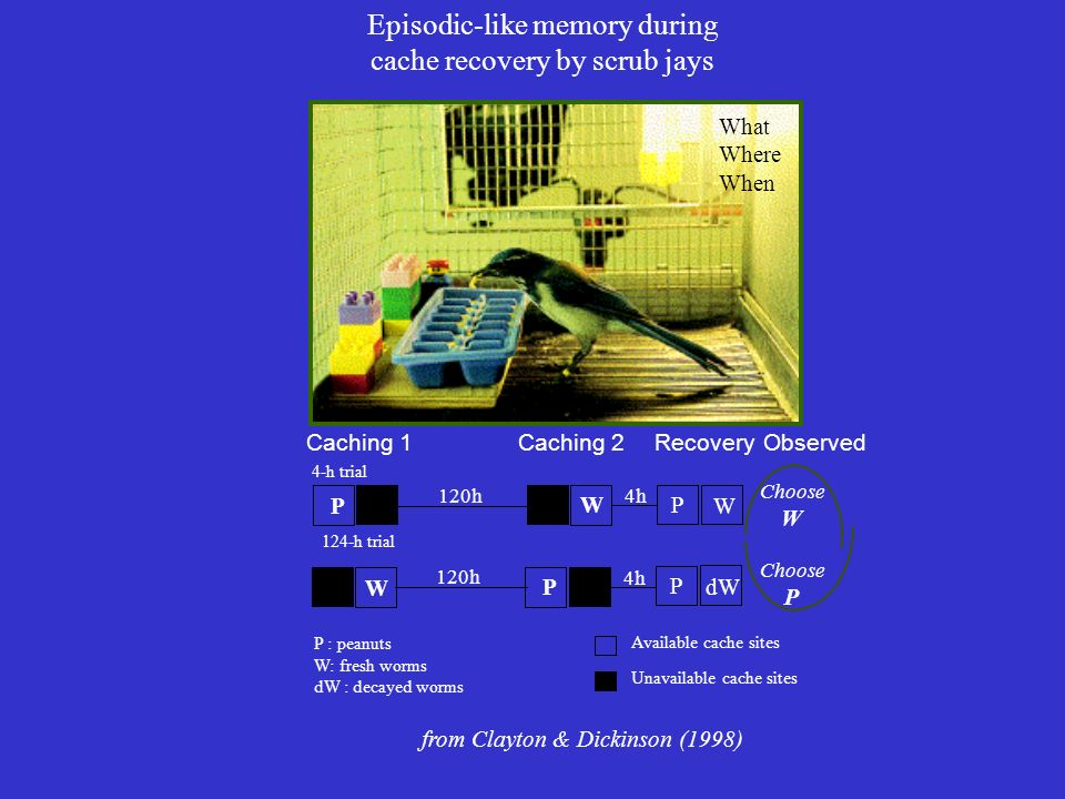 Episodic-like memory during cache recovery by scrub jays