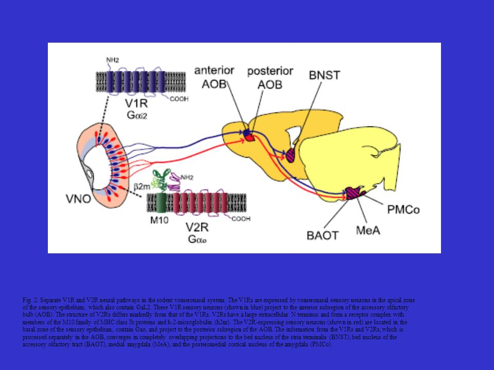 Fig. 2. Separate V1R and V2R neural pathways in the rodent vomeronasal system. The V1Rs are expressed by vomeronasal sensory neurons in the apical zone