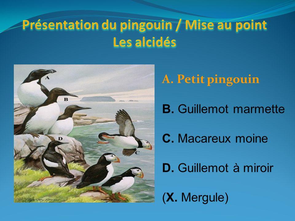 Présentation du pingouin / Mise au point Les alcidés