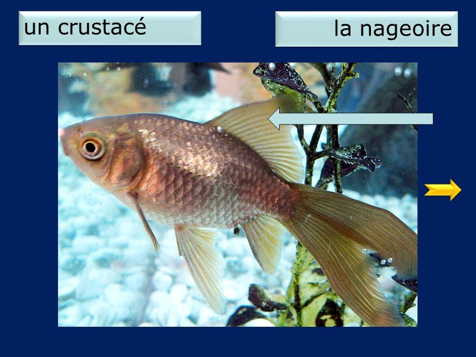 un crustacé la nageoire 2