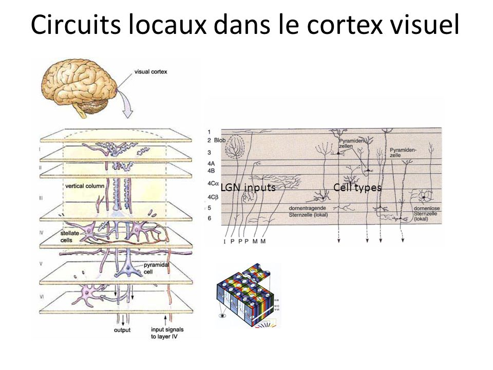 Circuits locaux dans le cortex visuel
