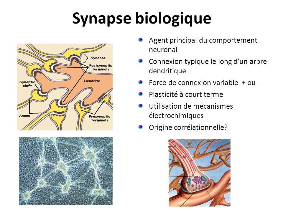 Synapse biologique Agent principal du comportement neuronal