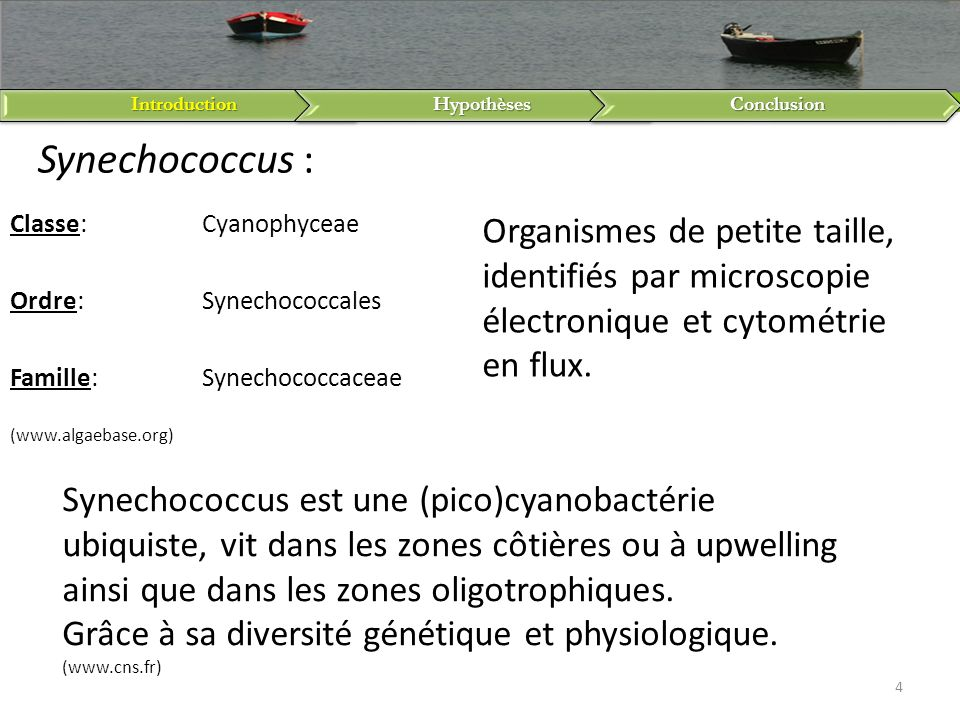 Introduction Hypothèses. Conclusion. Synechococcus : Classe: Cyanophyceae. Ordre: Synechococcales.