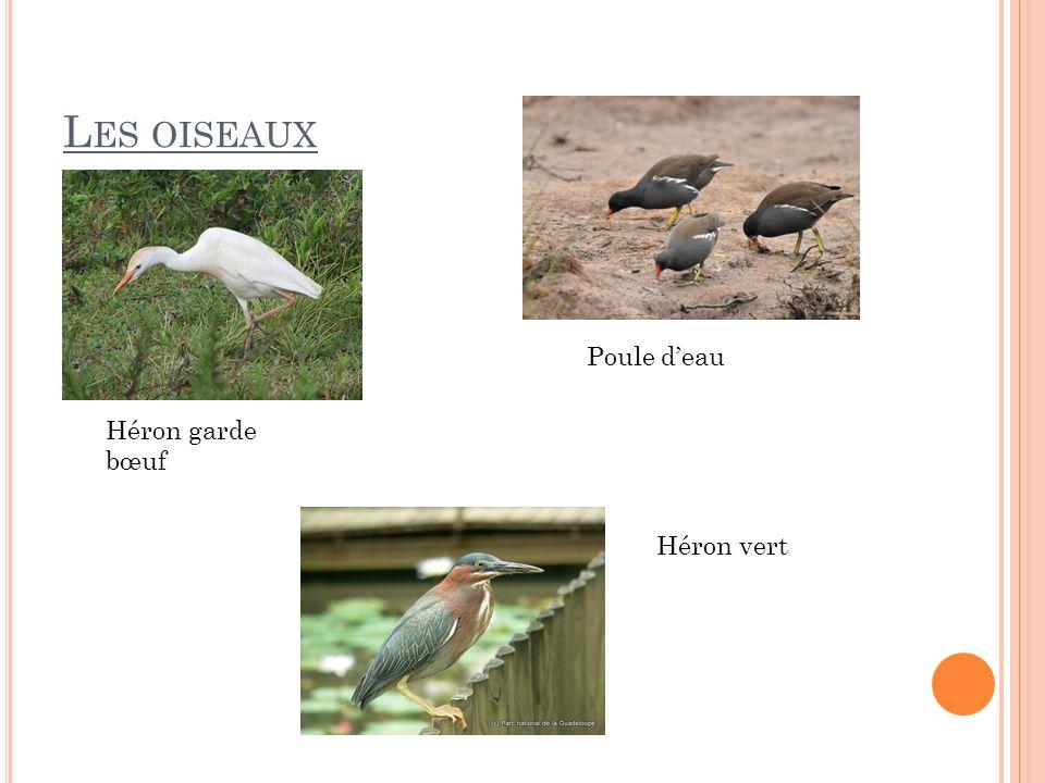 Les oiseaux Poule d'eau Héron garde bœuf Héron vert