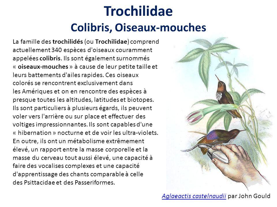 Colibris, Oiseaux-mouches