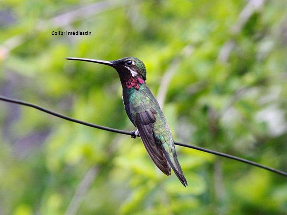 Colibri médiastin