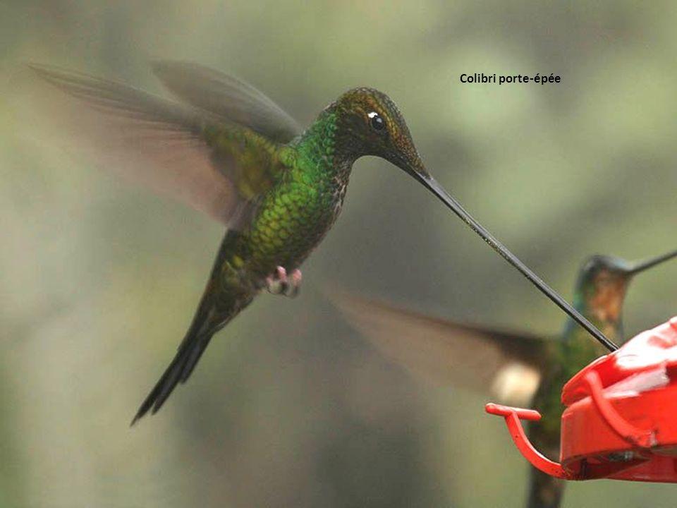Colibri porte-épée