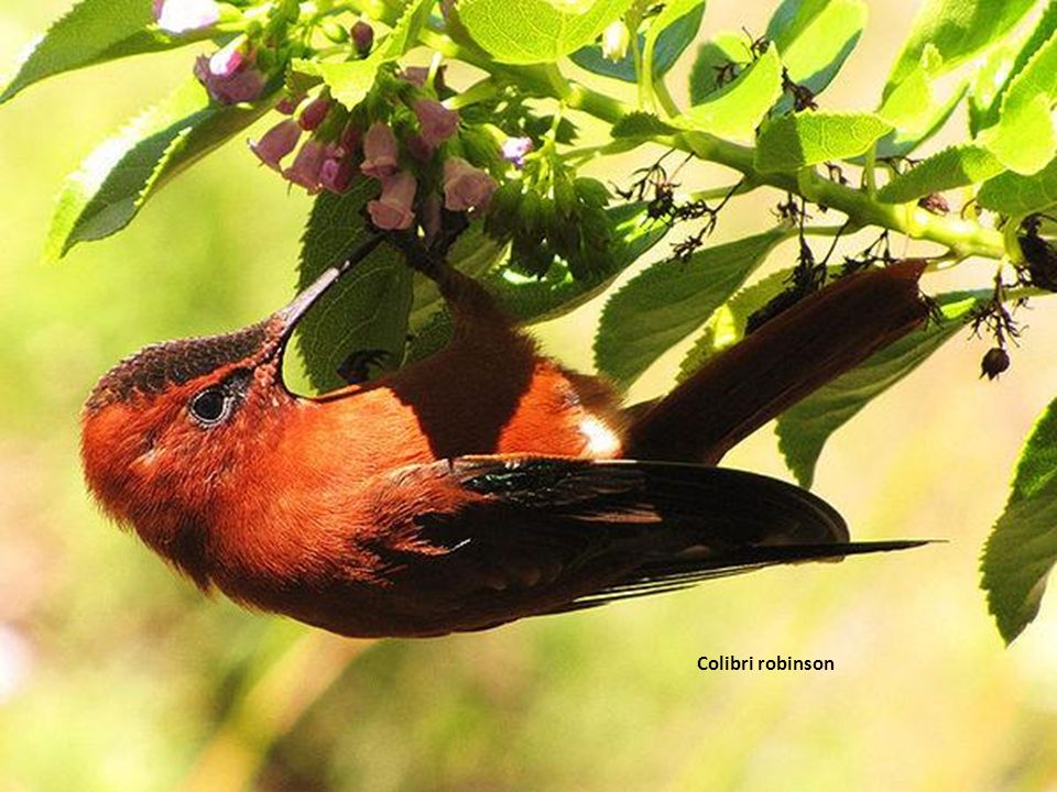 Colibri robinson