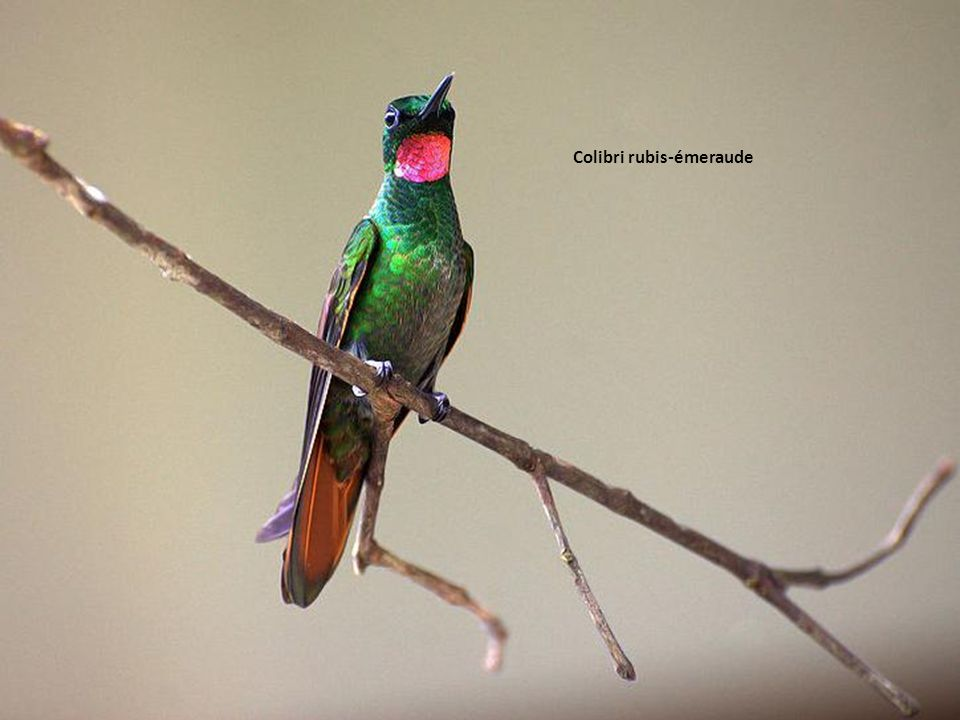 Colibri rubis-émeraude