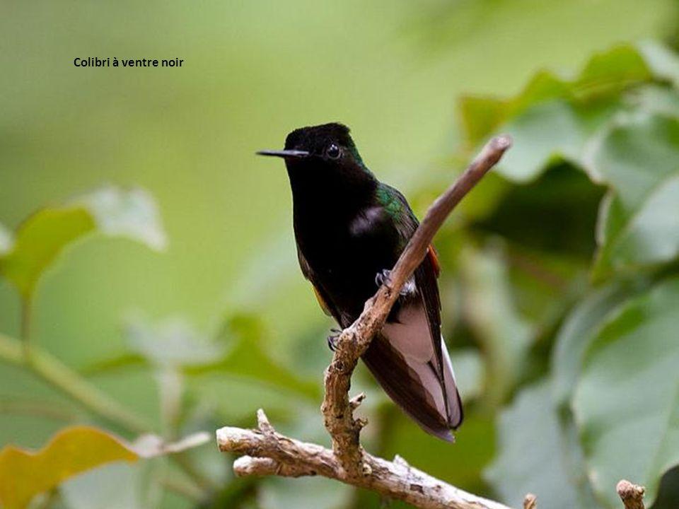 Colibri à ventre noir