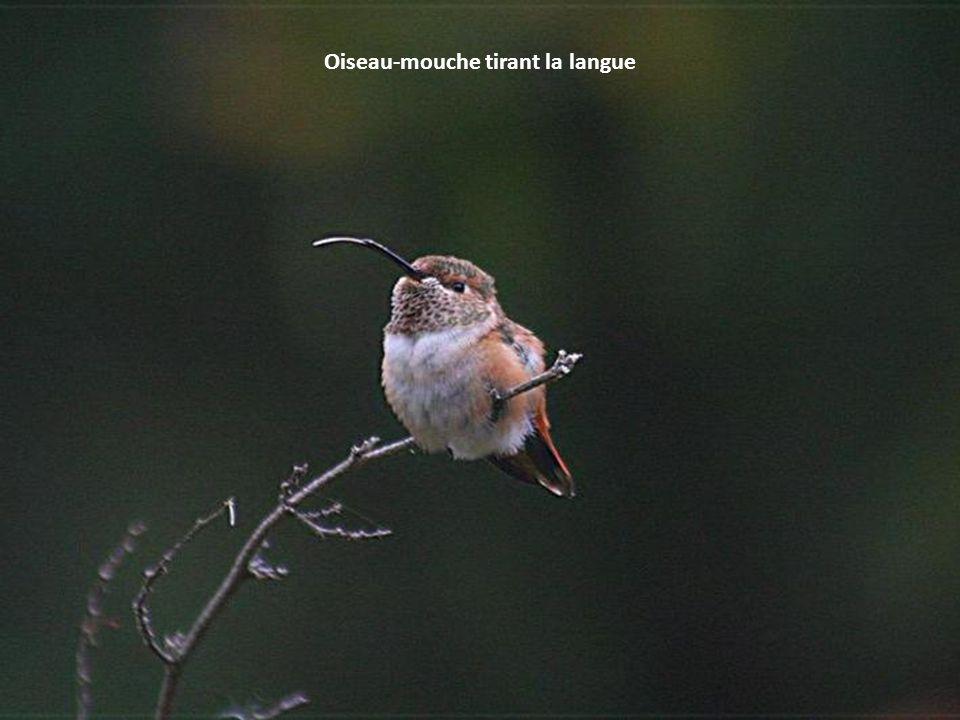 Oiseau-mouche tirant la langue