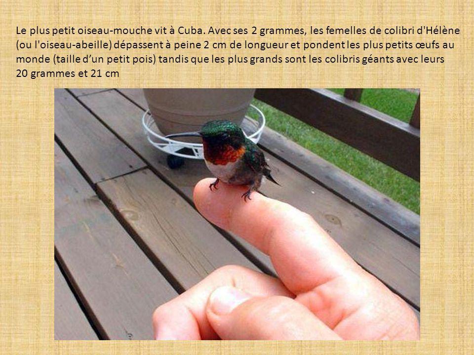 Le plus petit oiseau-mouche vit à Cuba