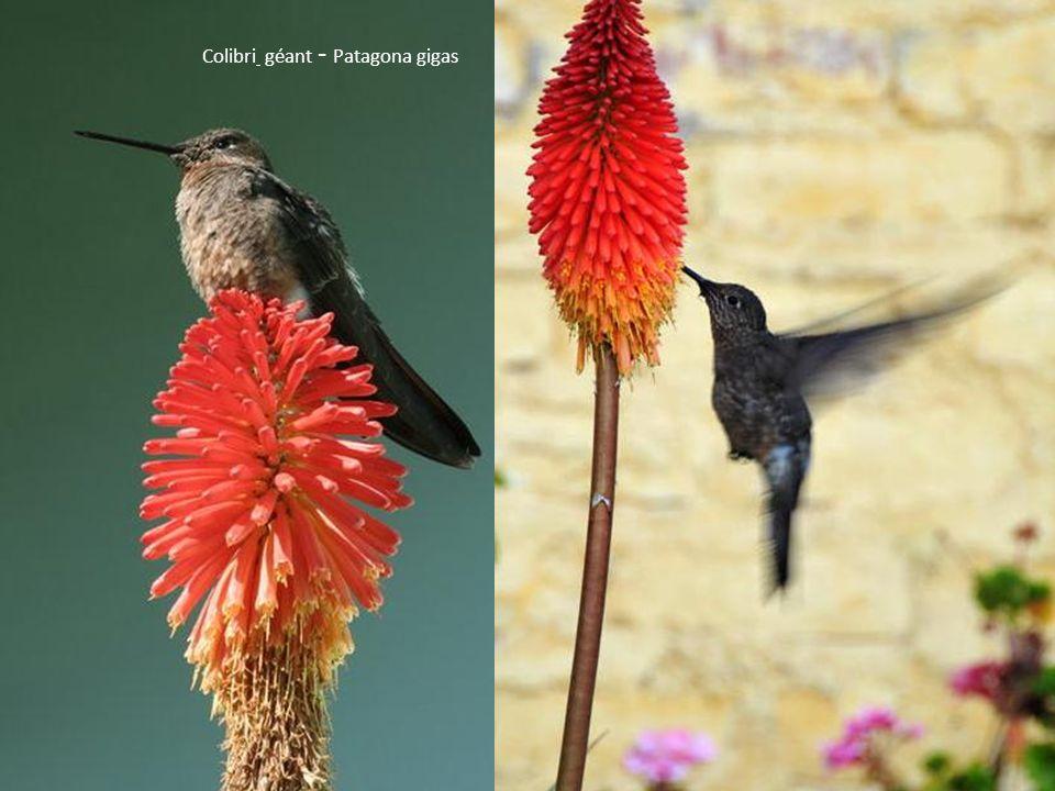 Colibri géant - Patagona gigas