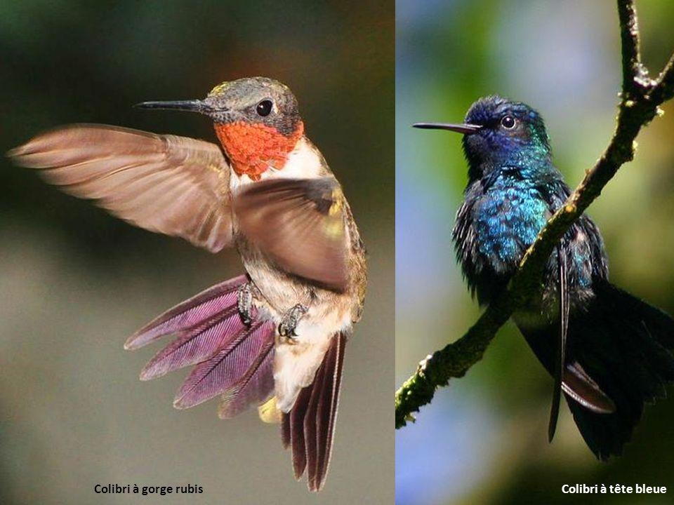 Colibri à gorge rubis Colibri à tête bleue