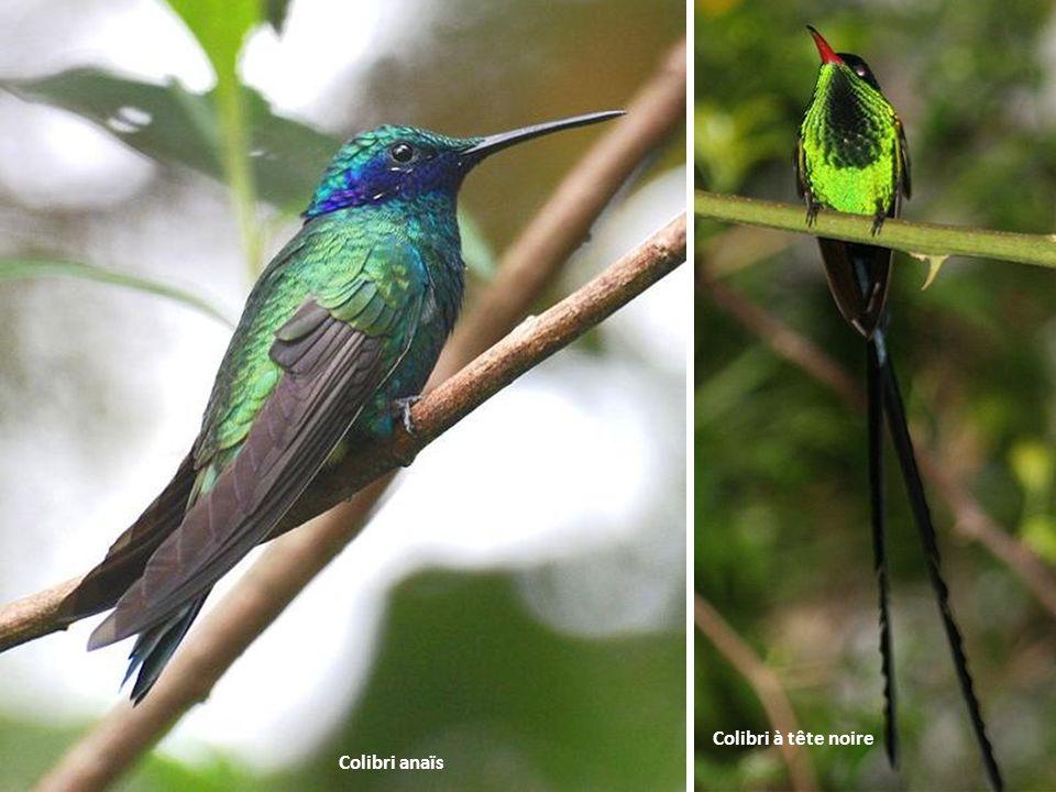 Colibri à tête noire Colibri anaïs