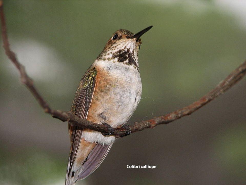 Colibri calliope