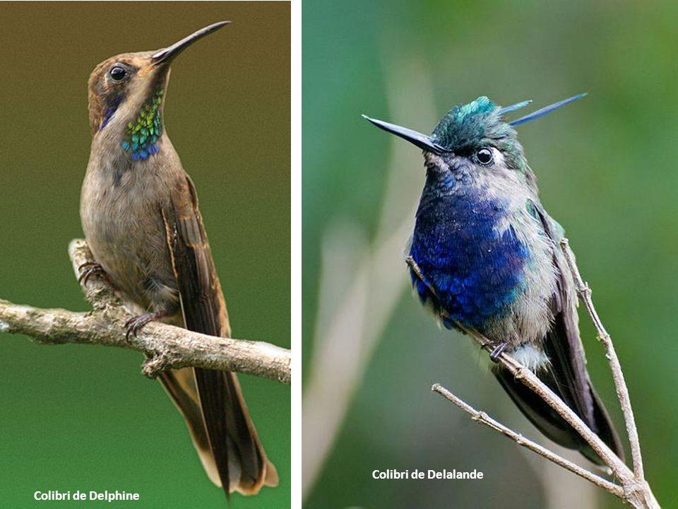 Colibri de Delalande Colibri de Delphine