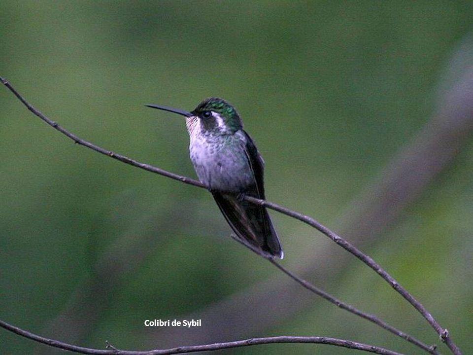 Colibri de Sybil