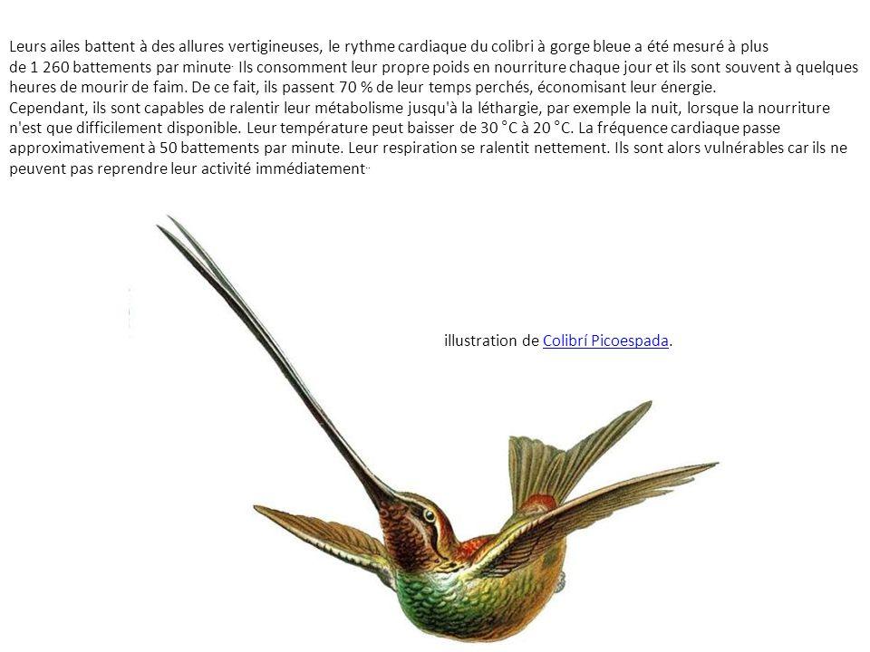 Leurs ailes battent à des allures vertigineuses, le rythme cardiaque du colibri à gorge bleue a été mesuré à plus de 1 260 battements par minute. Ils consomment leur propre poids en nourriture chaque jour et ils sont souvent à quelques heures de mourir de faim. De ce fait, ils passent 70 % de leur temps perchés, économisant leur énergie.