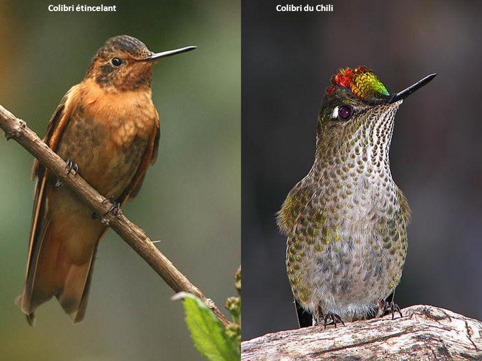 Colibri du Chili Colibri étincelant