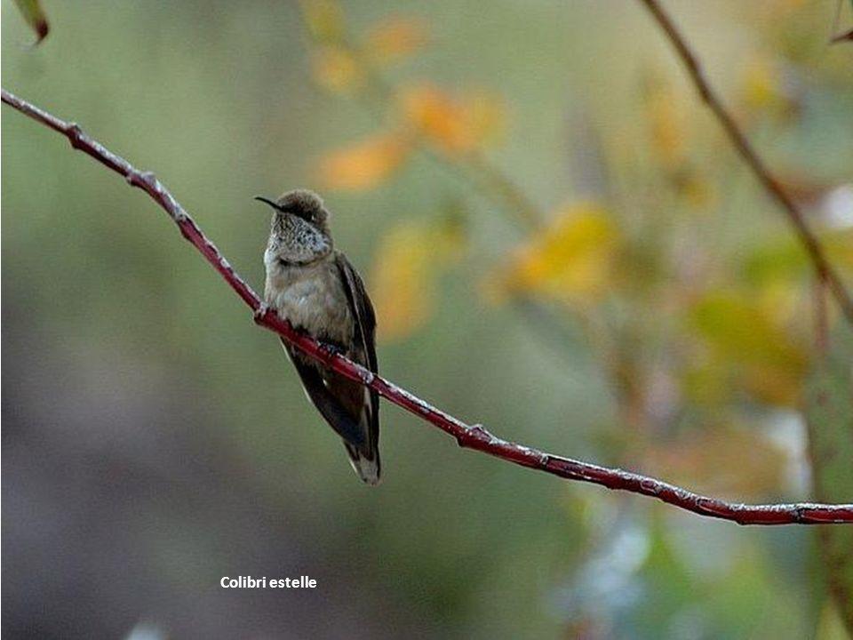 Colibri estelle