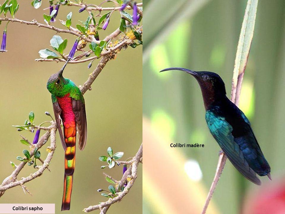 Colibri madère Colibri sapho
