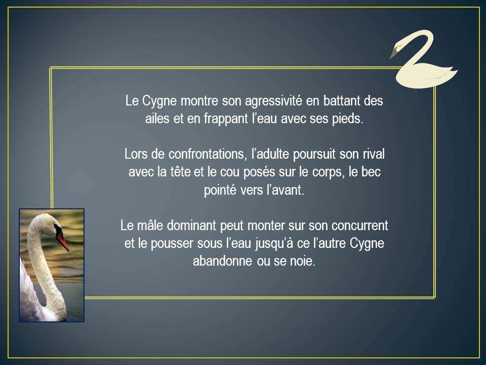 Le Cygne montre son agressivité en battant des ailes et en frappant l'eau avec ses pieds.