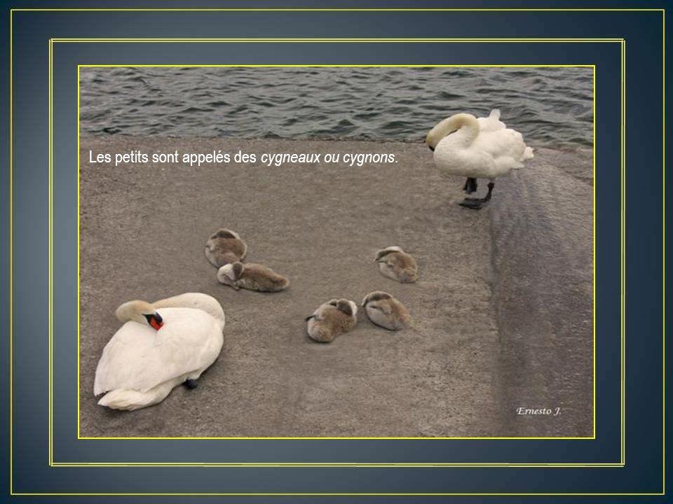 Les petits sont appelés des cygneaux ou cygnons.
