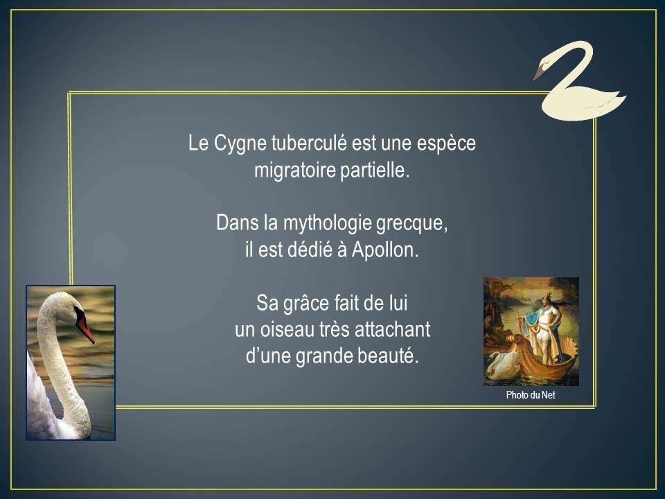 Le Cygne tuberculé est une espèce migratoire partielle.
