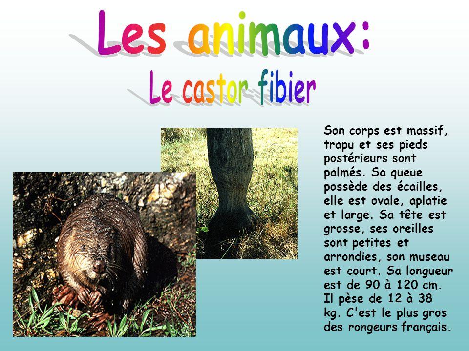 Les animaux: Le castor fibier
