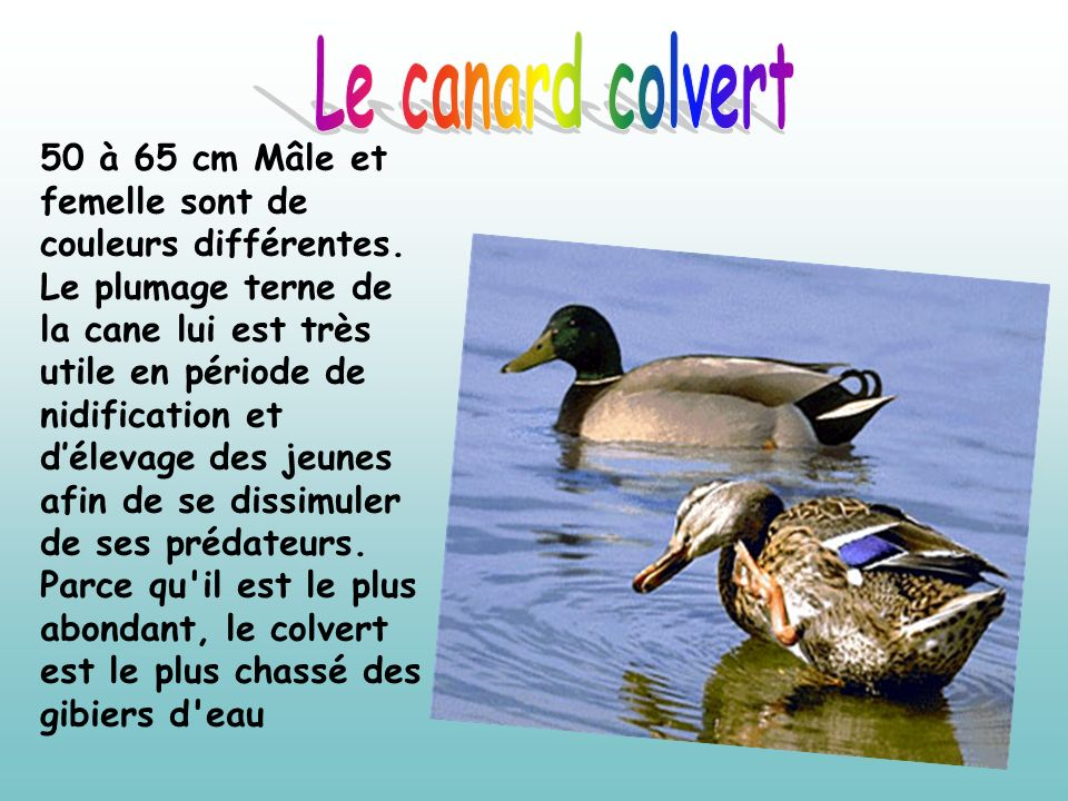 Le canard colvert