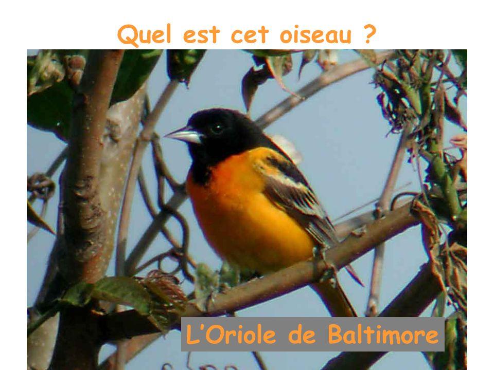 Quel est cet oiseau L'Oriole de Baltimore