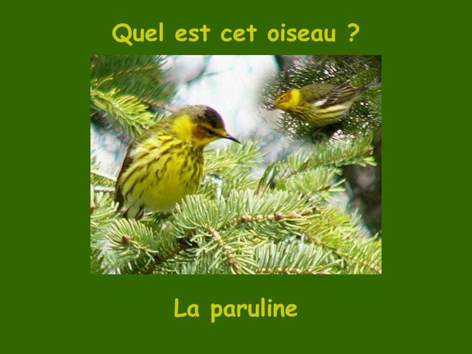 Quel est cet oiseau La paruline