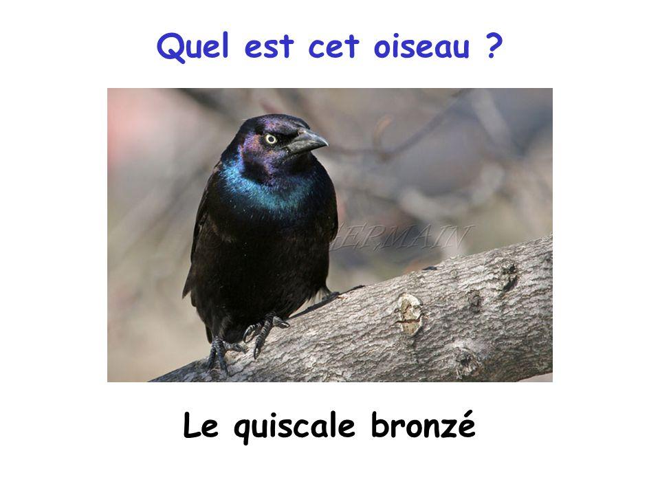 Quel est cet oiseau Le quiscale bronzé