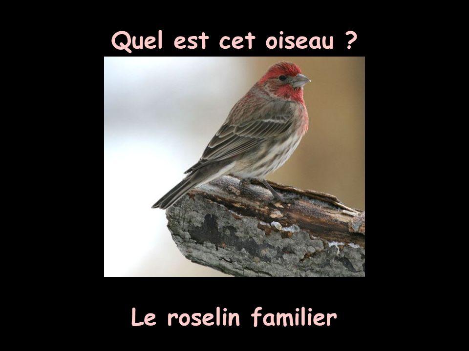 Quel est cet oiseau Le roselin familier