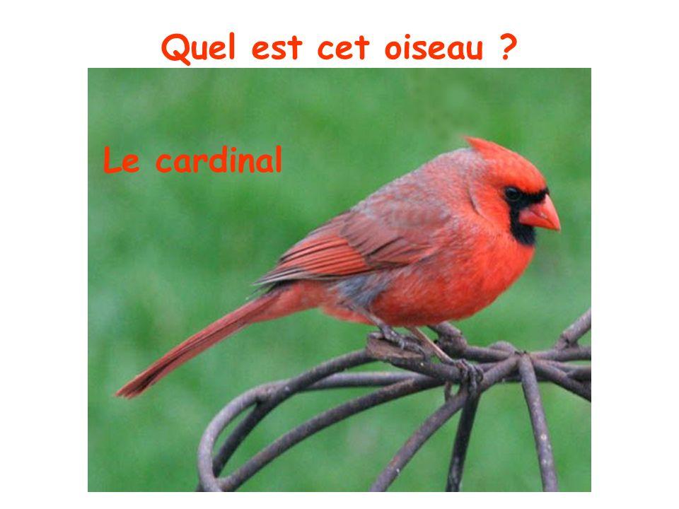Quel est cet oiseau Le cardinal