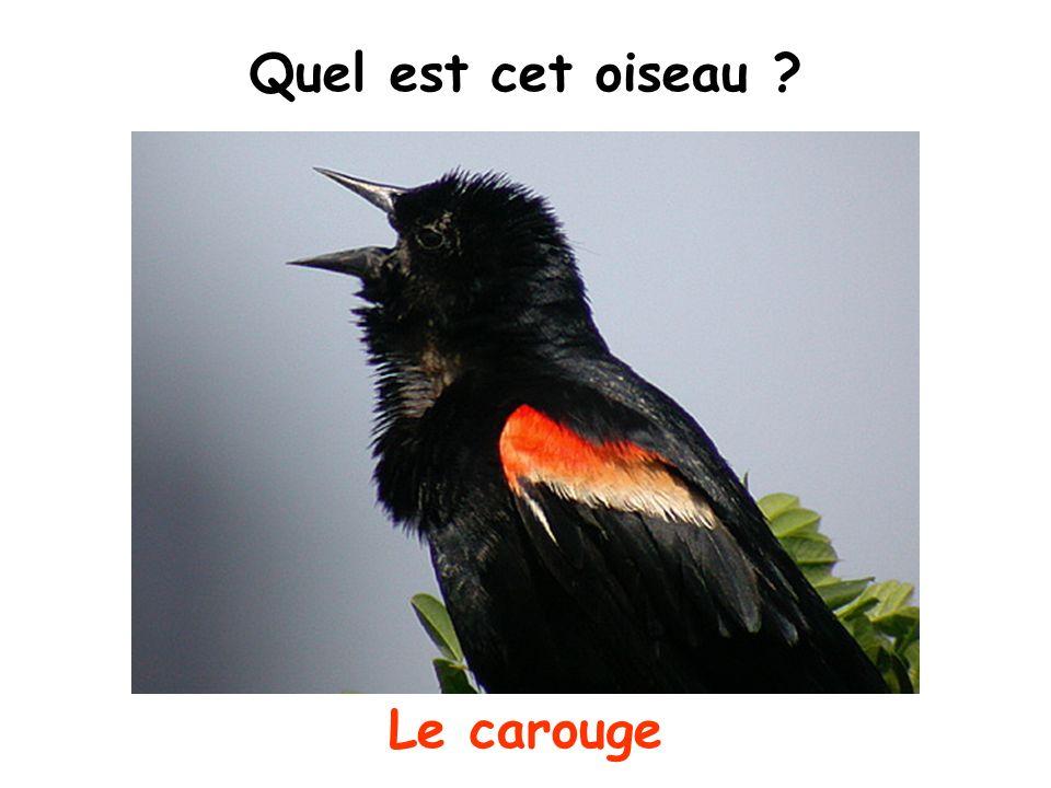 Quel est cet oiseau Le carouge