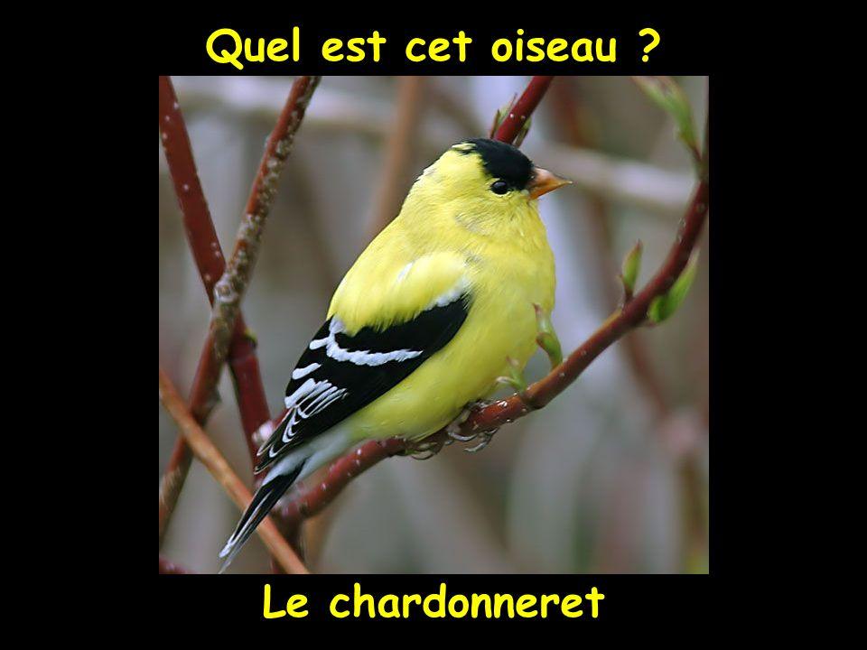 Quel est cet oiseau Le chardonneret