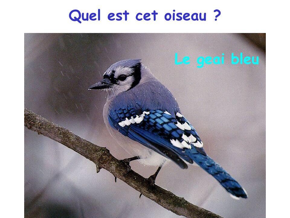 Quel est cet oiseau Le geai bleu