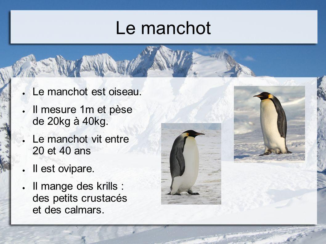 Le manchot Le manchot est oiseau. Il mesure 1m et pèse de 20kg à 40kg.